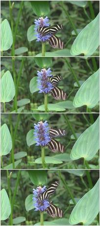 黑白条纹超美丽蝴蝶与蓝色小花视频素材