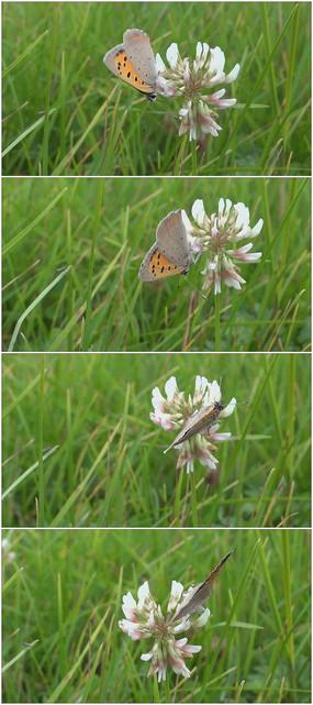 白色花朵上的黄色蝴蝶视频素材