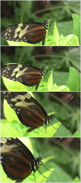蝴蝶停留在树叶上特写视频素材