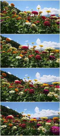 漫山遍野的鲜花绽放视频素材