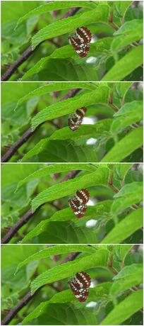 树叶上停留的花纹蝴蝶视频素材 mov
