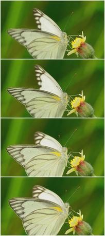 鲜花上的白色美丽蝴蝶视频素材 mov