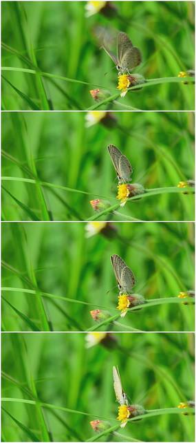 小花上的花纹蝴蝶视频素材