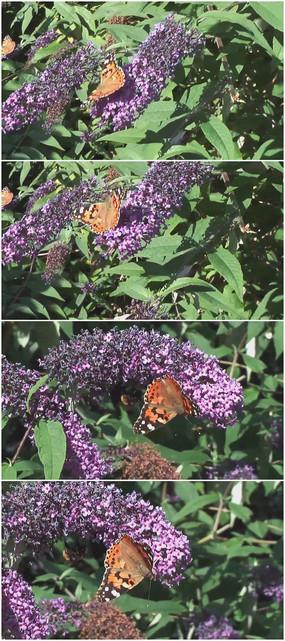 紫色小花与黄色蝴蝶视频素材