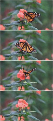 红色小花上的黄色蝴蝶视频素材