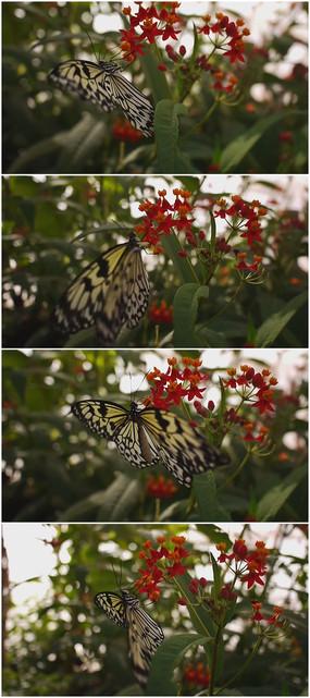 黄色斑点蝴蝶特写视频素材