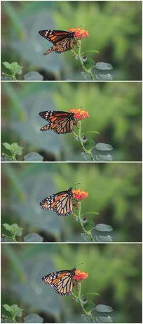黄色蝴蝶与小花特写视频素材