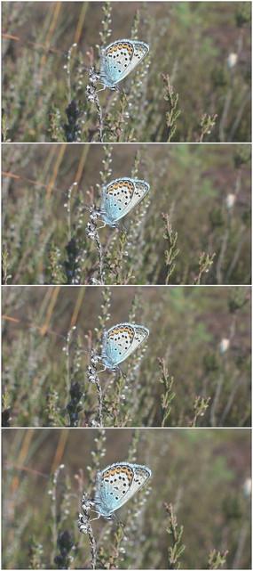 蓝色漂亮蝴蝶野草视频素材