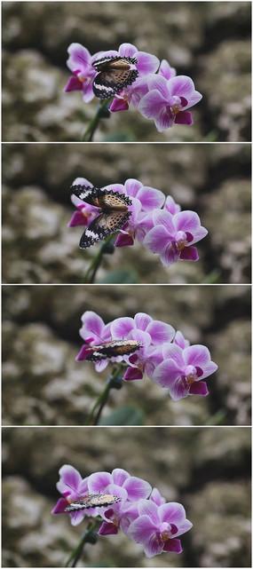 紫色小花与蝴蝶视频素材