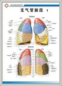 人体胸部结构图_肺部图图片_肺部图设计素材_红动网