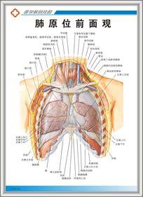 肺原位前面观解剖图