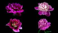 各种鲜花绽放盛开视频素材 mov