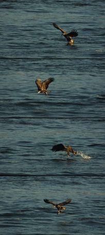 鹰飞扑水中捕鱼慢镜头