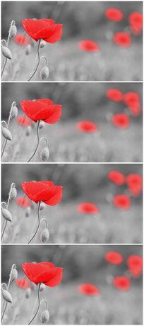 红色小花白色背景唯美视频素材