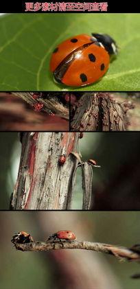 树枝间树叶上的七星瓢虫视频素材