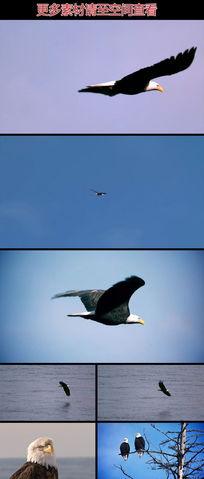 雄鹰天空飞翔扇翅慢动作实拍视频素材