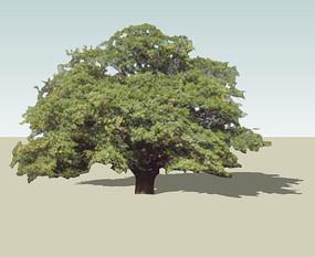 栎树SU模型 skp