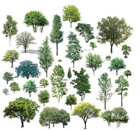 常绿真实树