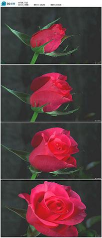 实拍玫瑰花花开背景动态视频素材 avi