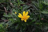 黄金菊 JPG