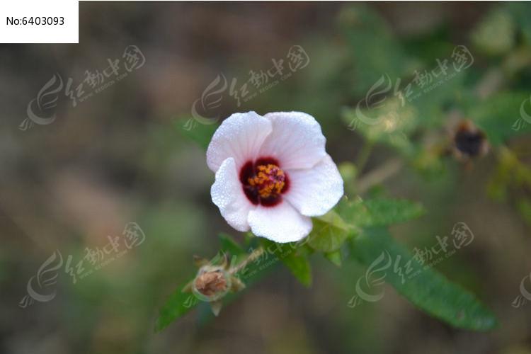 日本木槿图片