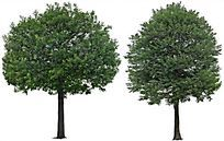 合欢树 PSD