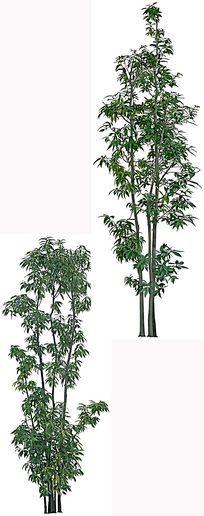 栎树 PSD