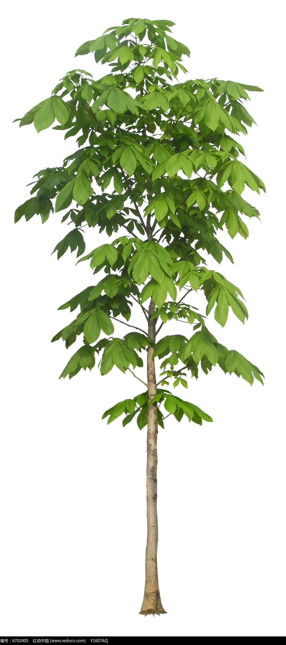单株七叶树ps立面素材图片图片