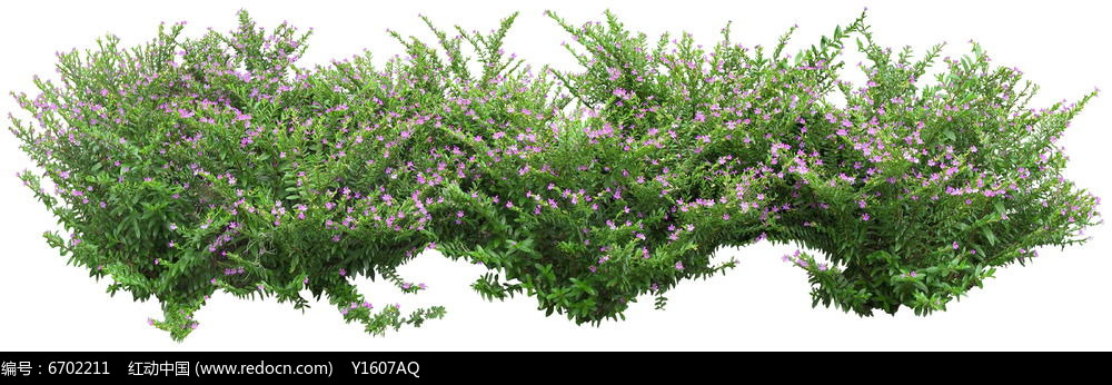 细叶萼距花PS素材图片