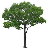 杨梅树立面素材