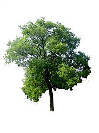 树头素材国槐 PSD