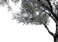 树头素材乔木