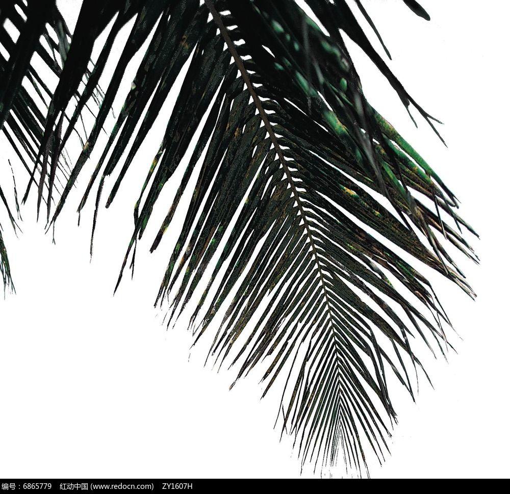 树头素材棕榈叶