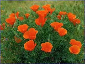 花菱草 罂粟科