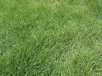 沟叶结缕草马尼拉