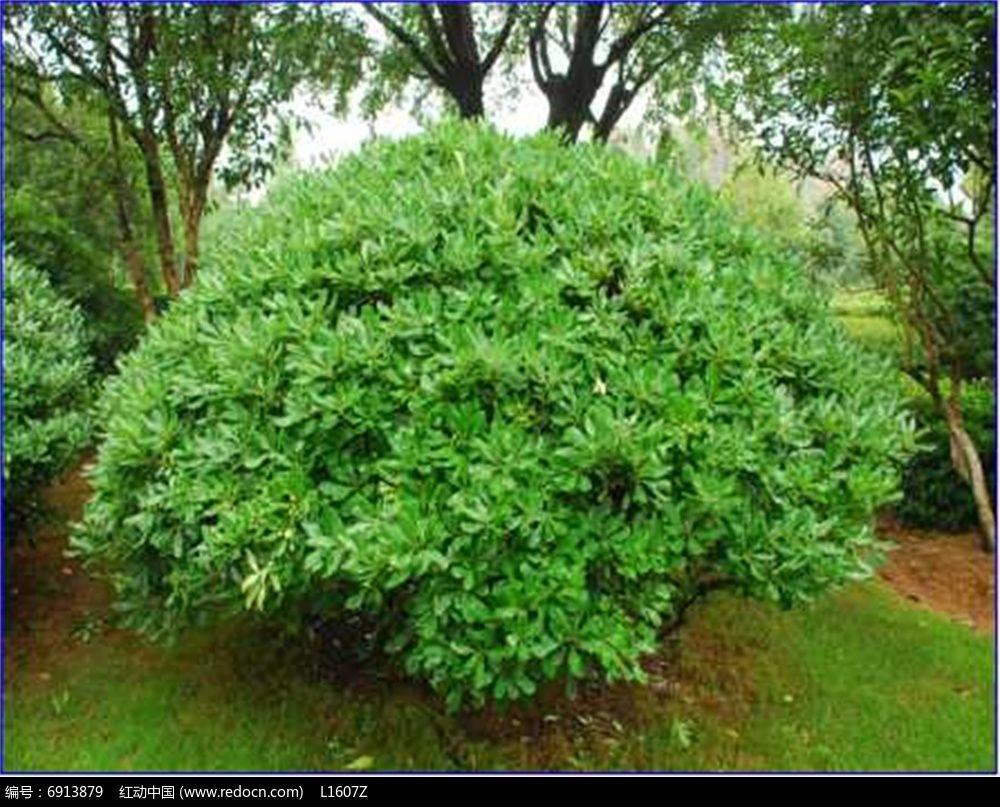 近球形树冠(海桐)