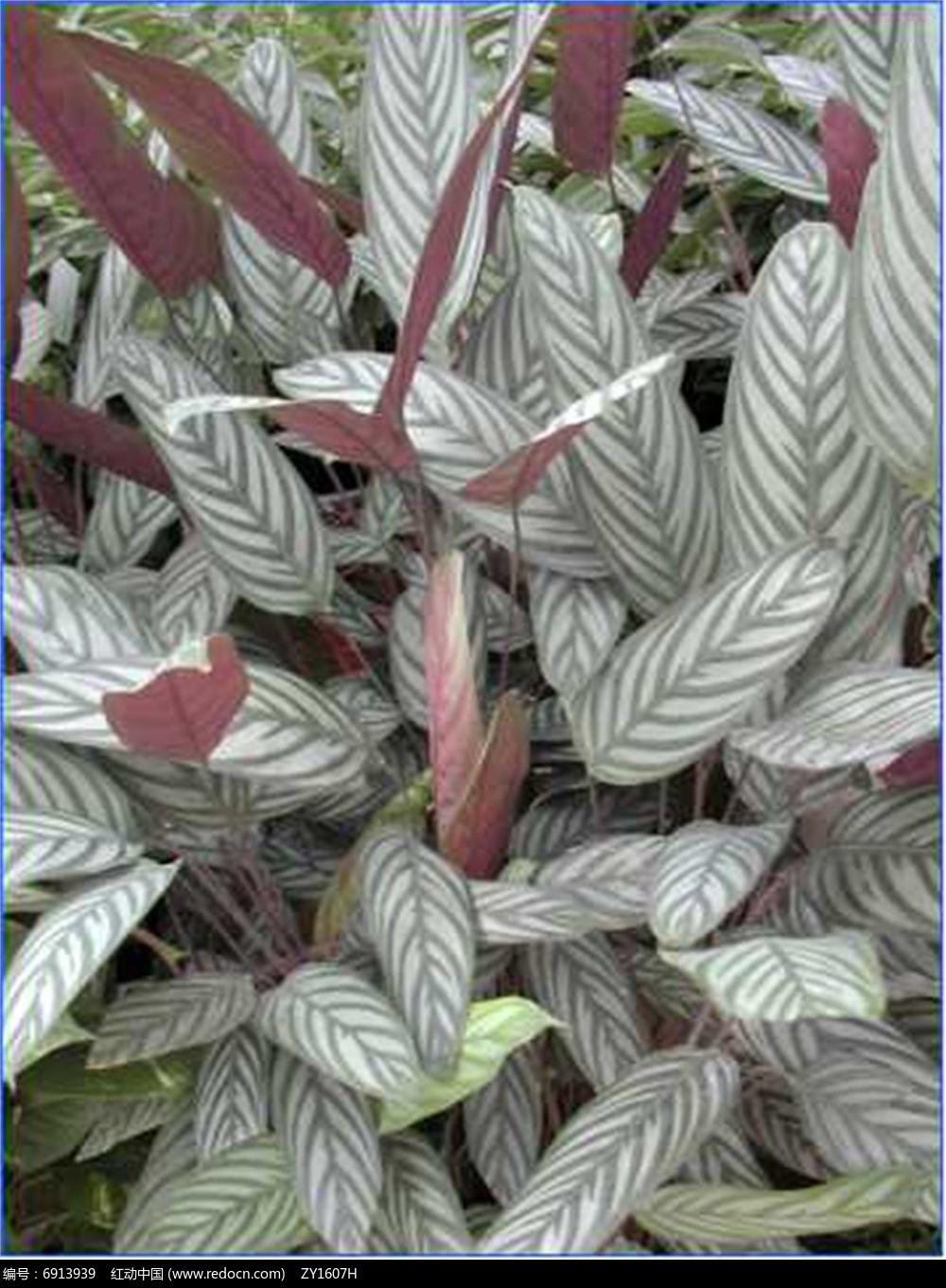 可爱竹芋jpg素材下载_植物设计图片