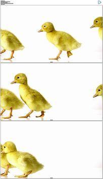 白背景小黄鸭走路实拍视频素材