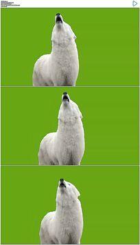 白狼嚎叫绿屏抠像视频素材