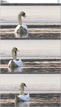 湖面上恩爱的天鹅情侣实拍视频素材