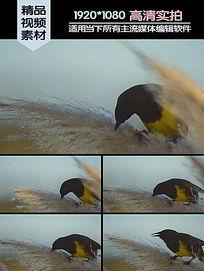 芦苇花上的小鸟视频素材