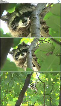 树上的小浣熊 实拍视频素材 mov