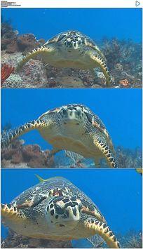 在蓝色海洋中游泳的乌龟实拍视频素材