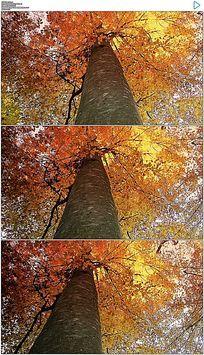 仰拍金黄色树叶枫树视频视频素材