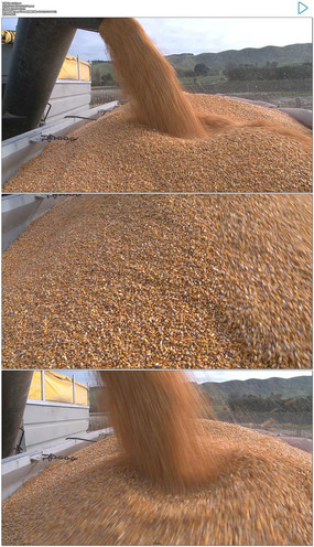 机械化农业玉米丰收视频视频素材