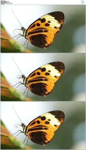 蝴蝶停在树上实拍视频素材 mov