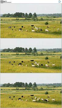 草原牛羊实拍视频素材