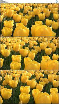 黄色郁金香花海实拍视频素材