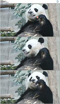 大熊猫吃胡萝卜实拍视频素材