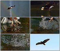 白头鹰翱翔视频